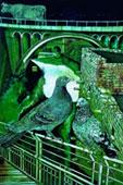 Frequentati ponti  di Sentinum,  cm. 90x65, disegno dilavato verde inchiostro e tempera