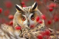 GUFO: Owl glare © Règis Cavignaux