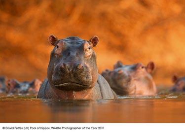 © David Fettes (UK) Pool of hippos, Wildlife Photographer of the Year 2011