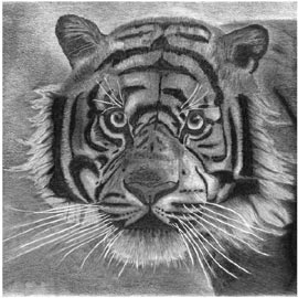 Franz Bucher, Tiger black and white (2013), stampa digitale su alluminio da disegno a matita, cmm50x50