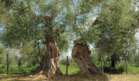 Ulivo secolare di Camporeggiano