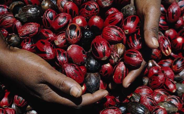 Dean Conger/National Geographic, Grenada, Indie Occidentali britanniche, Due mani piene di gusci lucenti di noce moscata ricoperti di macis rosso