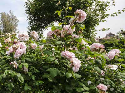 Flower Market 2016, rose
