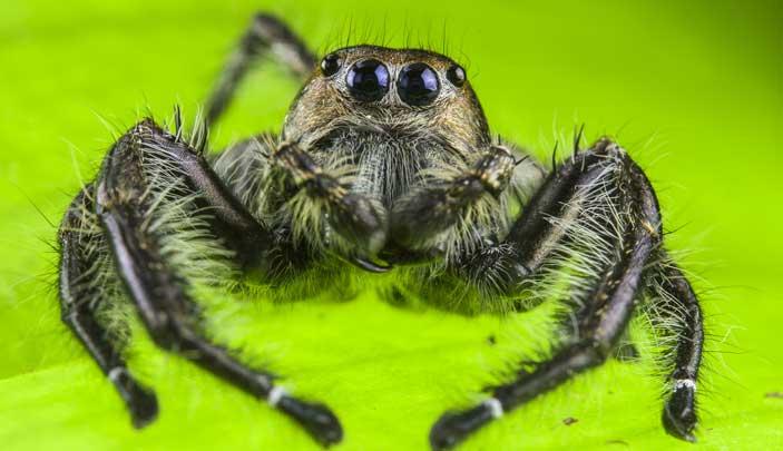 Ragno saltatore - Mostra Zanne, corazze e veleni. La lotta per la sopravvivenza di insetti, ragni, anfibi e rettili