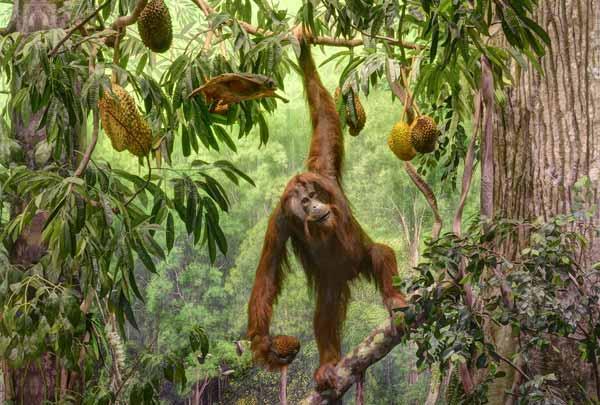 Diorama orango - Borneo, Malesia