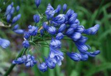 Agapanthus 'Flore Pleno' - Villa della Pergola