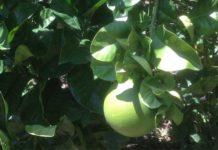 Agrumi, Citrus grandis o Pomelo